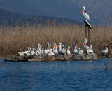 Skadar Lake - Birdwatching